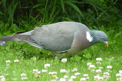 Common Wood Pigeon (Columba palumbus) feeding on the lawn ...