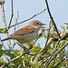 Common Whitethroat (m)