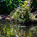 Moorhen chicks, canal
