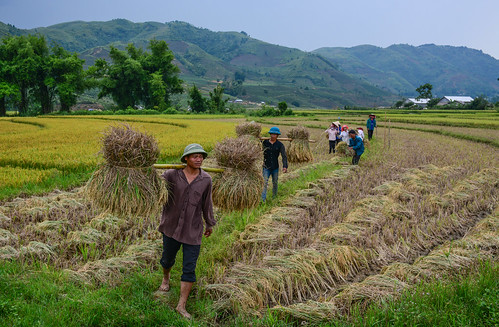 People working on rice field in summer