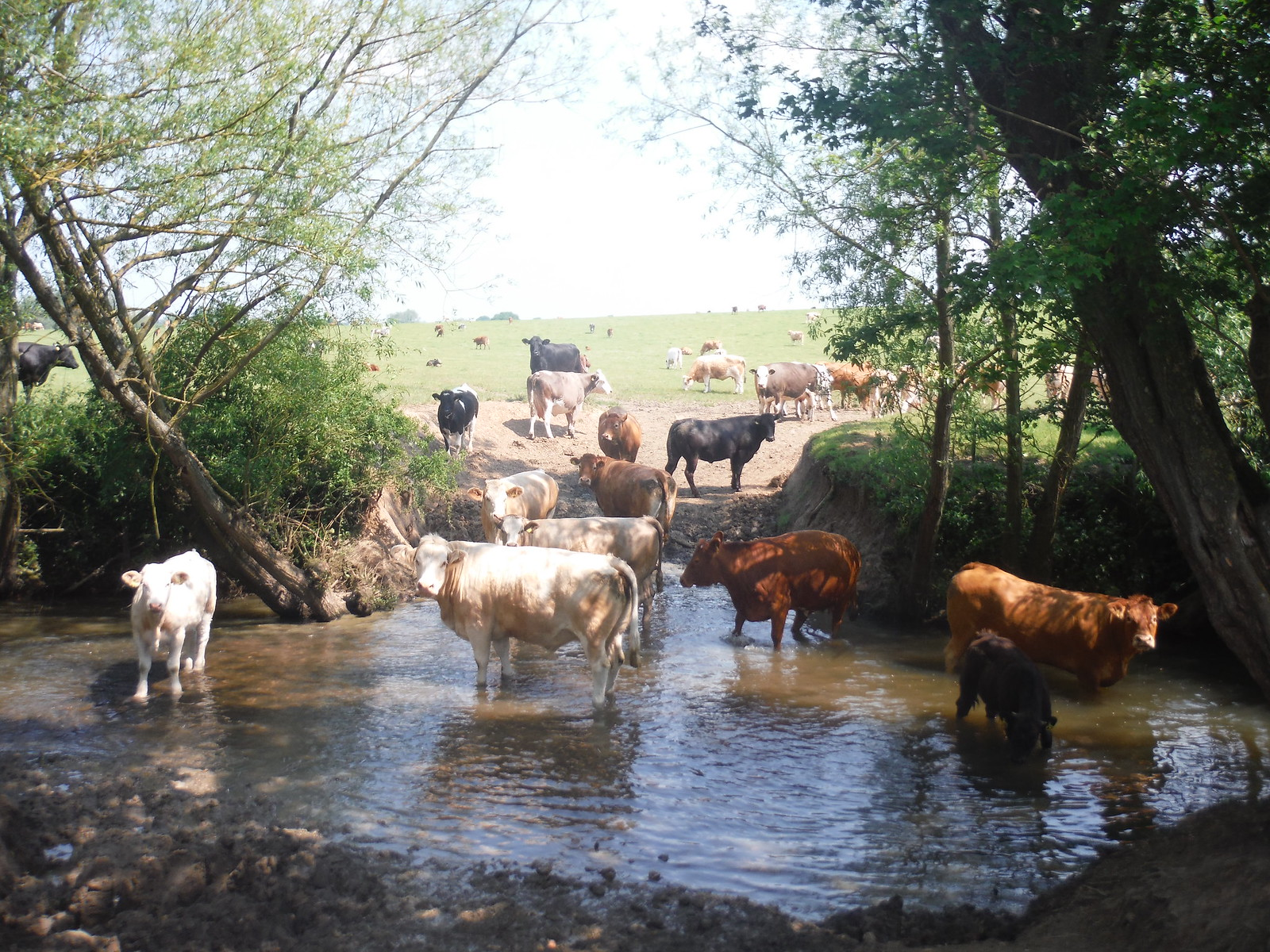 Cattle in The River Wid (Fristling Hall) SWC Walk 158 - Ingatestone to Battlesbridge or Wickford