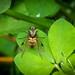 Black Snipefly - Chrysopilus cristatus (female)