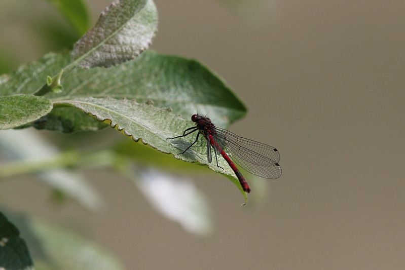 Large Red Damselfly male