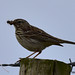 meadow pipit 46 2018 with food