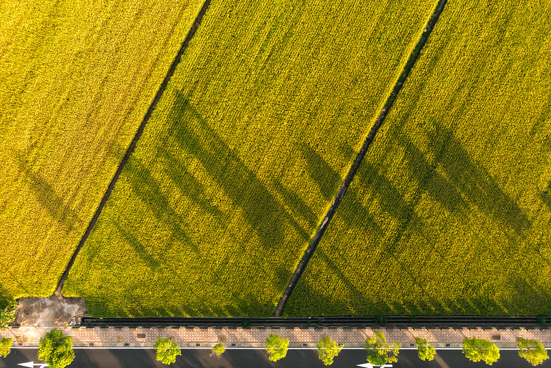 Golden ground paddy