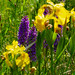Flag iris and southern marsh orchids, Baggeride