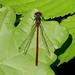 Large Red Damselfly -- Pyrrhosoma nymphula