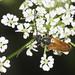 Fairy-ring Longhorn Beetle - Pseudovadonia livida