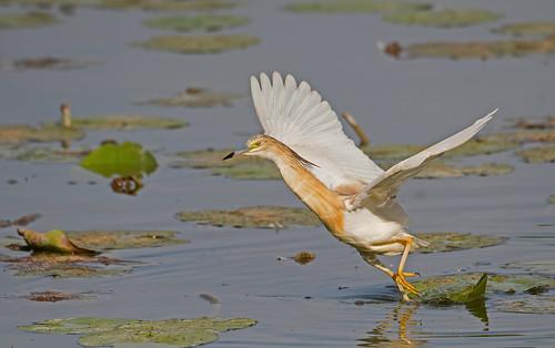 Squacco Heron: Ardeola ralloides (Explored)