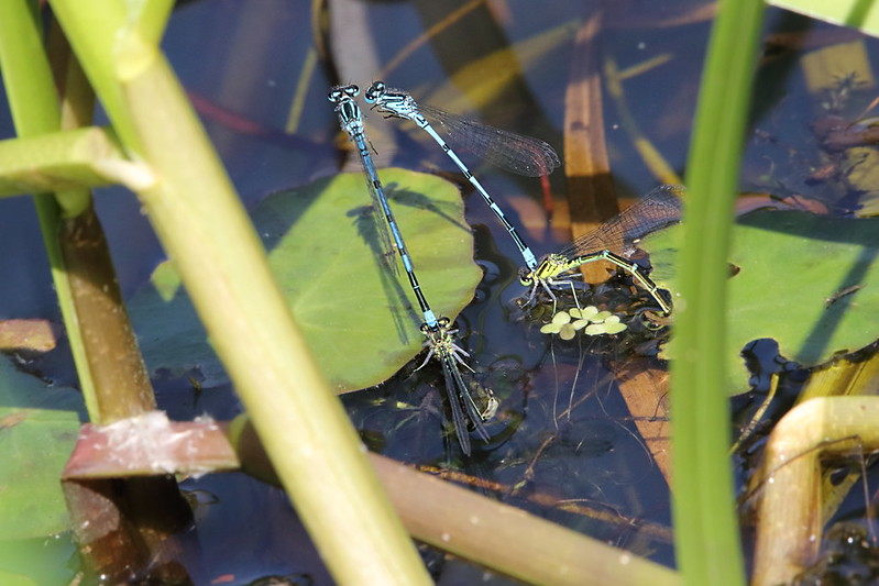 Azure Damselfly laying eggs