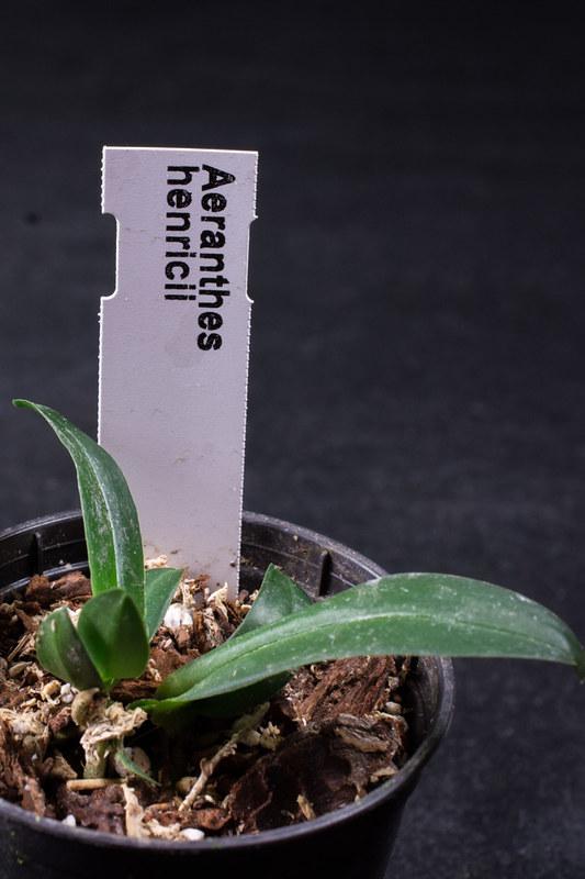 Orchideen-Neuzugang 2 - Seite 3 42501991612_cefc1deaf5_c
