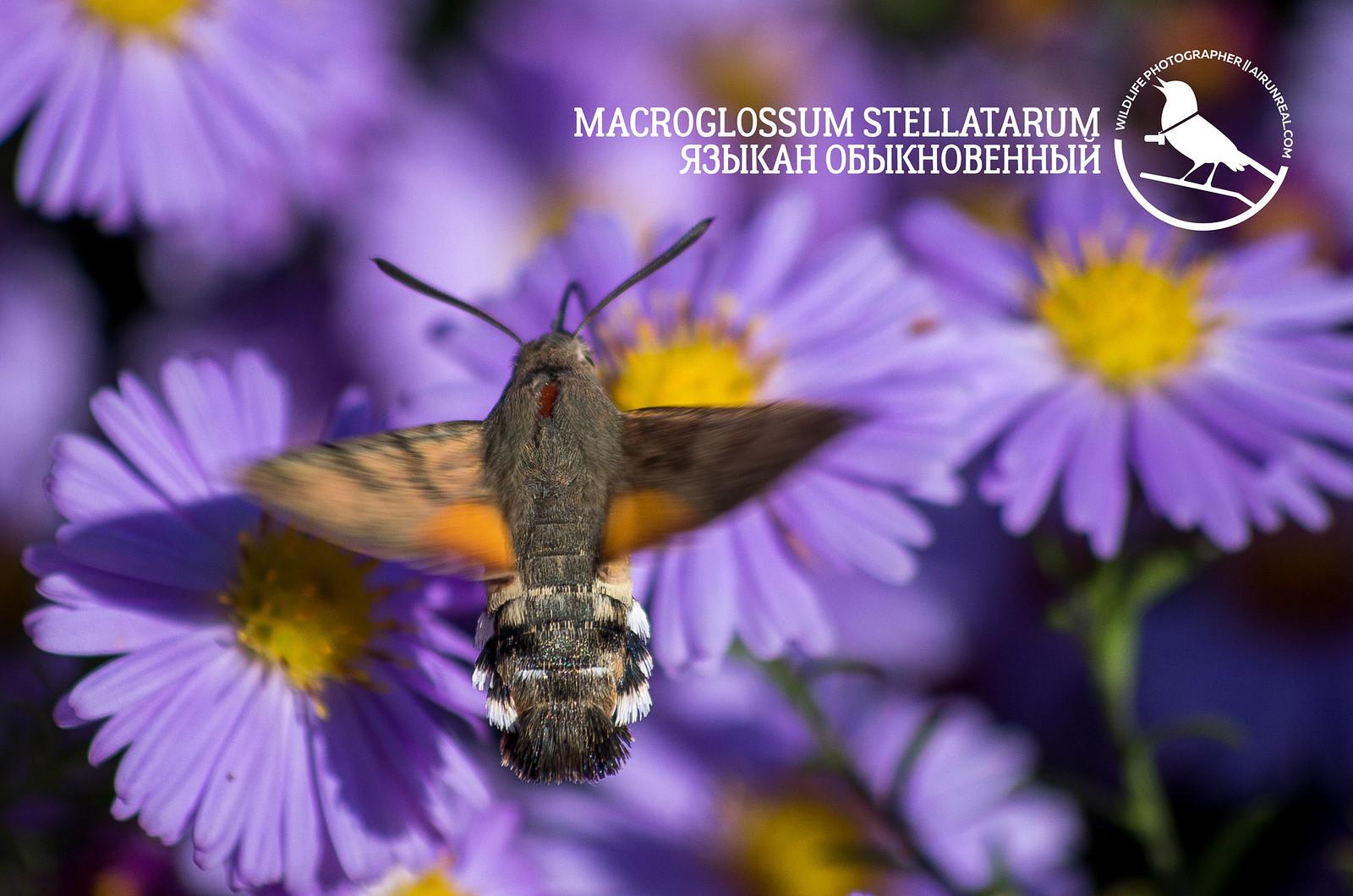 Macroglossum stellatarum // 20180602