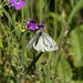 Green-veined White Butterfly  2