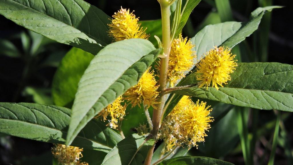 Lysimaque à fleurs en épis
