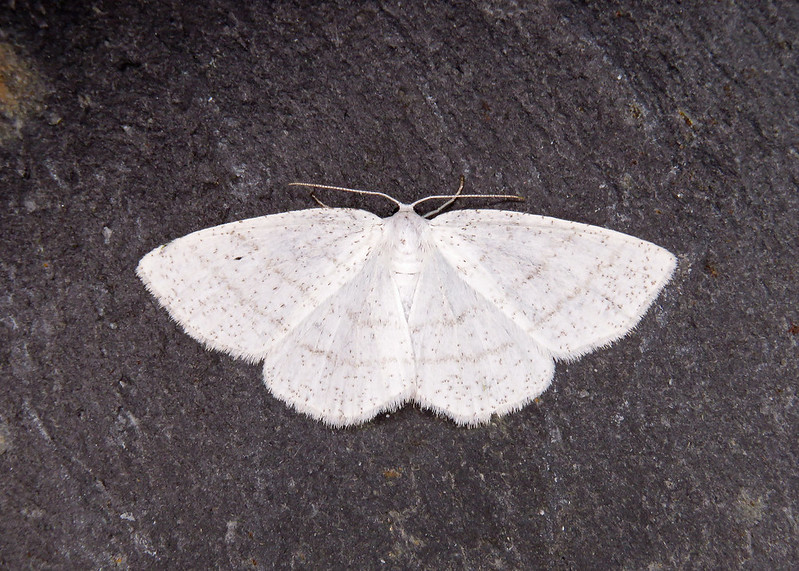 70.277 Common White Wave - Cabera pusaria