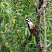 Great Spotted Woodpecker - Adult