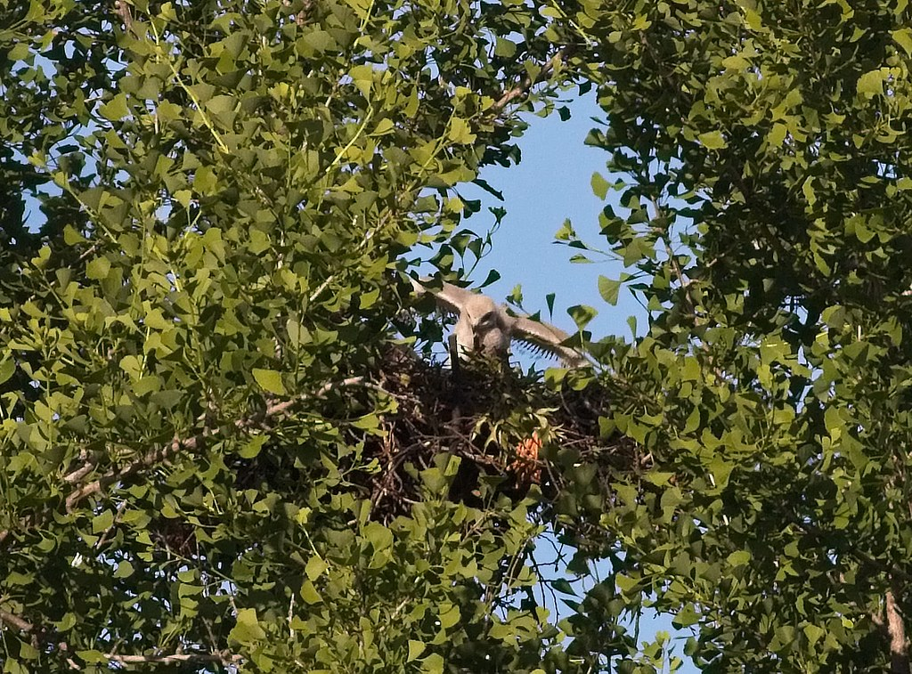 Tompkins red-tail nestling