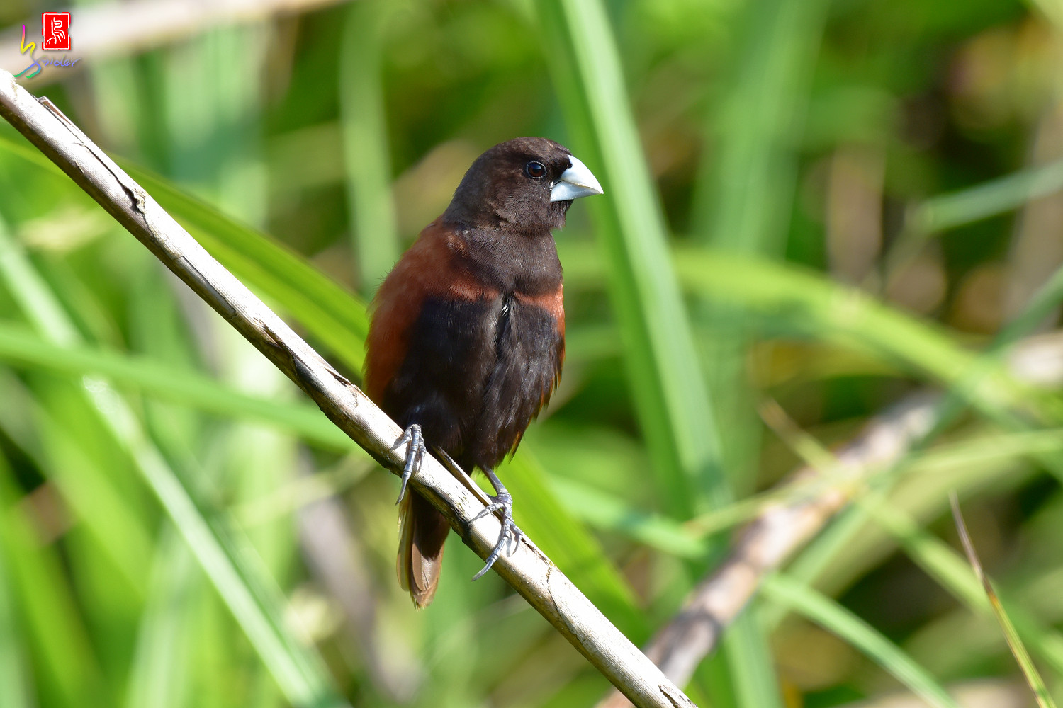 Chestnut_Munia_3912