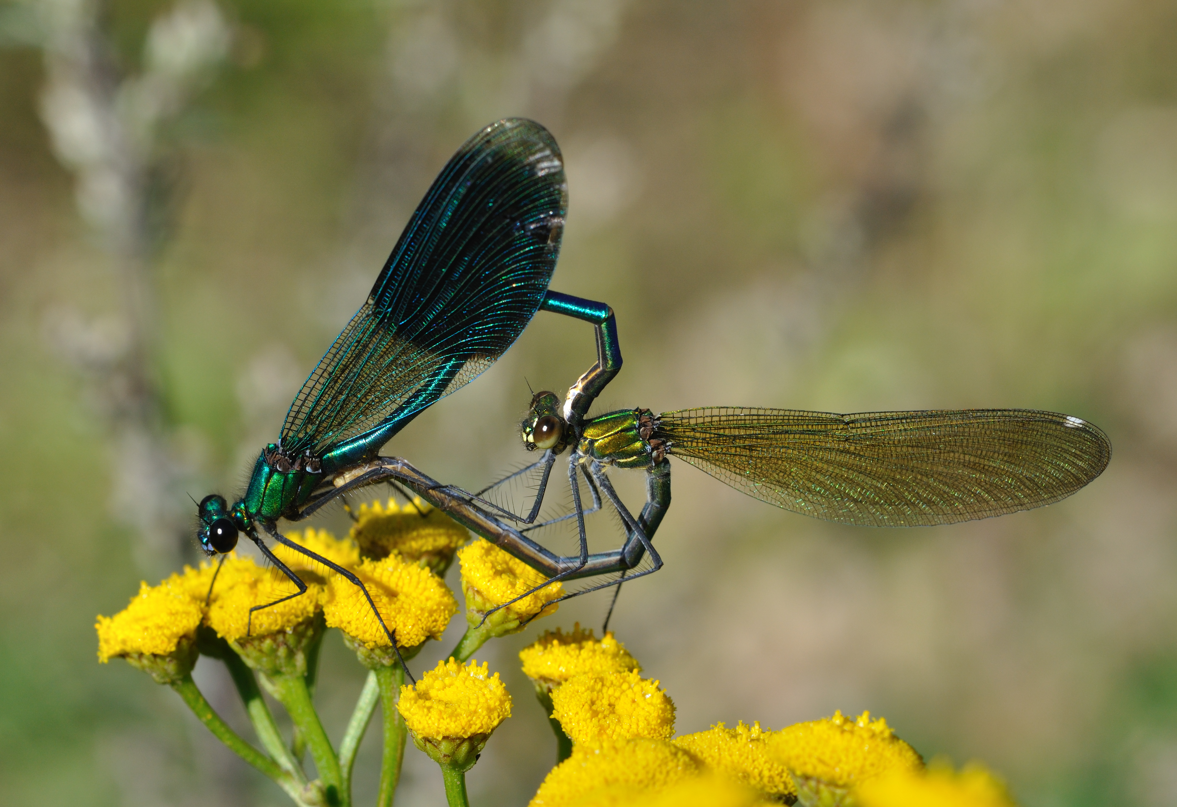 Male (left) and female of the banded demoiselle, Calopteryx splendens, showing their differently coloured wings
