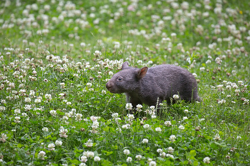 Miniwombat im Klee