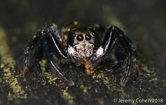Sylvana jumping spider (Colonus sylvanus)  eating tiny ant