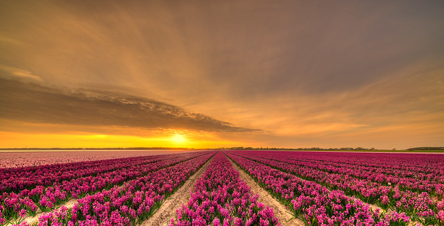 Fields of hyacinths.