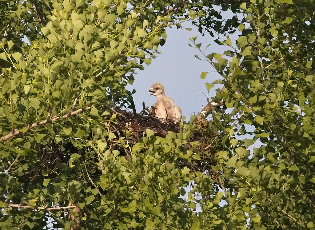 Tompkins nestling
