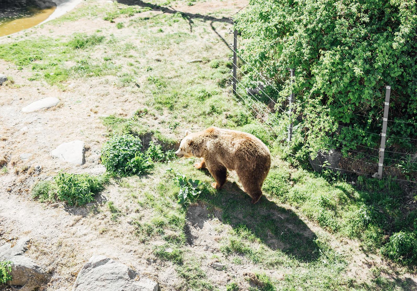 karhu korkeasaari