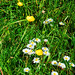 Buttercups and daisies: Spring on Minchinhampton Common