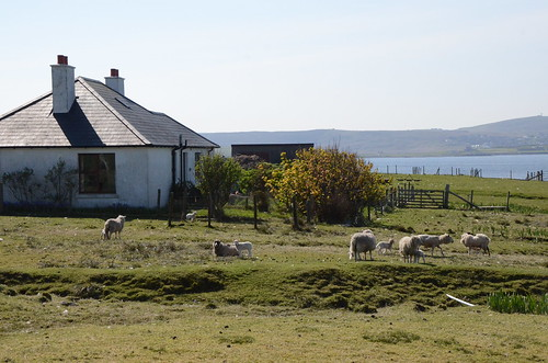 Sheep on Bressay