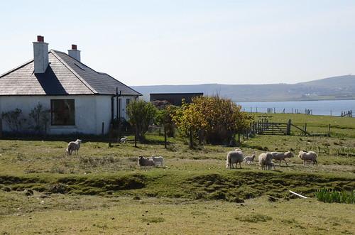 Sheep on Bressay