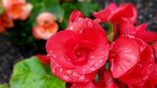 Rainy day begonia