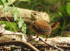 Birds-Tits and Wrens