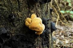 Энтонема киноварно-красная (Entonaema cinnabarinum)