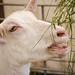 Goat - Honley show
