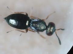 Pteromalidae - Meraporus graminicola