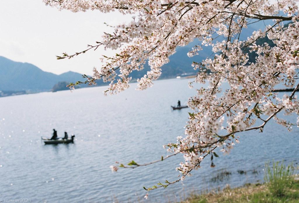2018-05-20 河口湖の桜 005
