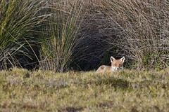 Mr Fox ( enjoying the early morning sun )