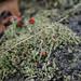 Lipstick Powderhorn lichen