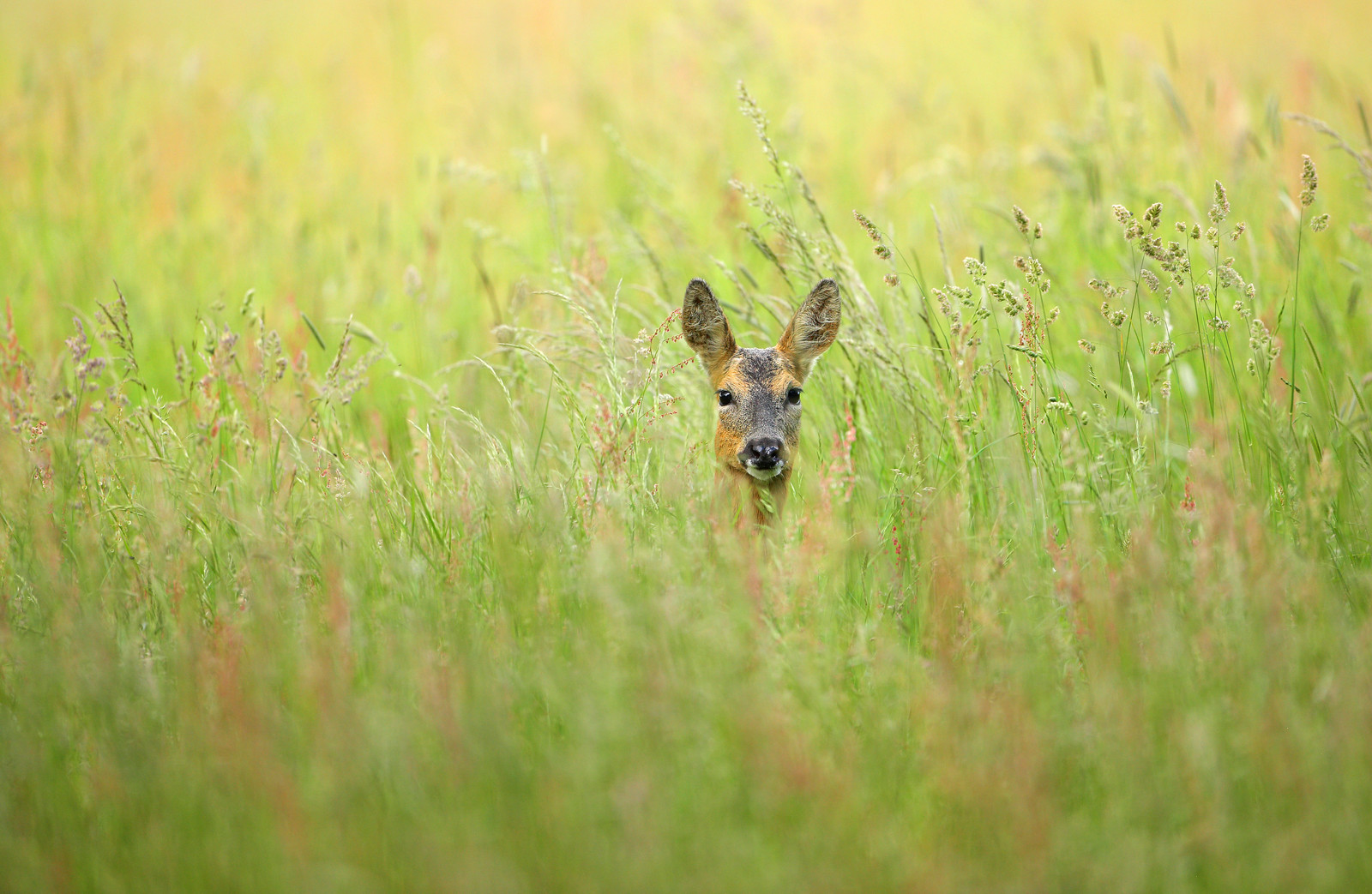 Roe deer peeking out of meadow