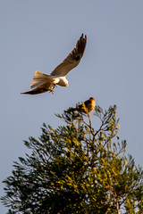 White Tailed Kite Flight School Pass 2