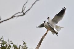 Black shouldered Kites ( this is not going well )