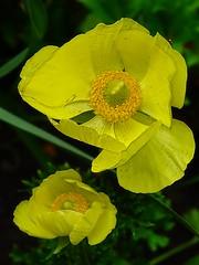 Ranunculus Asiaticus 01