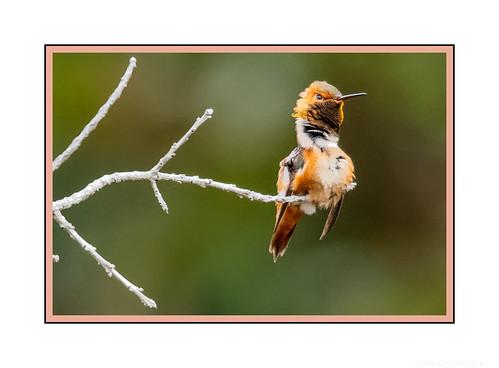 santacruz california ucsc arboretum allens hummingbird