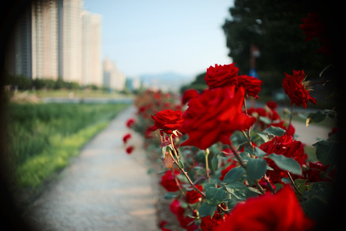 City roses. (Sigma 30mm f/1.4 APS-C lens on full frame camera)