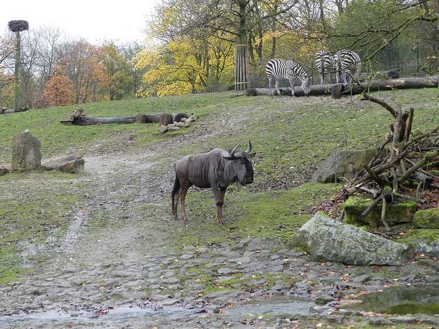 Streifengnu und Böhm-Steppenzebra, Allwetterzoo Münster