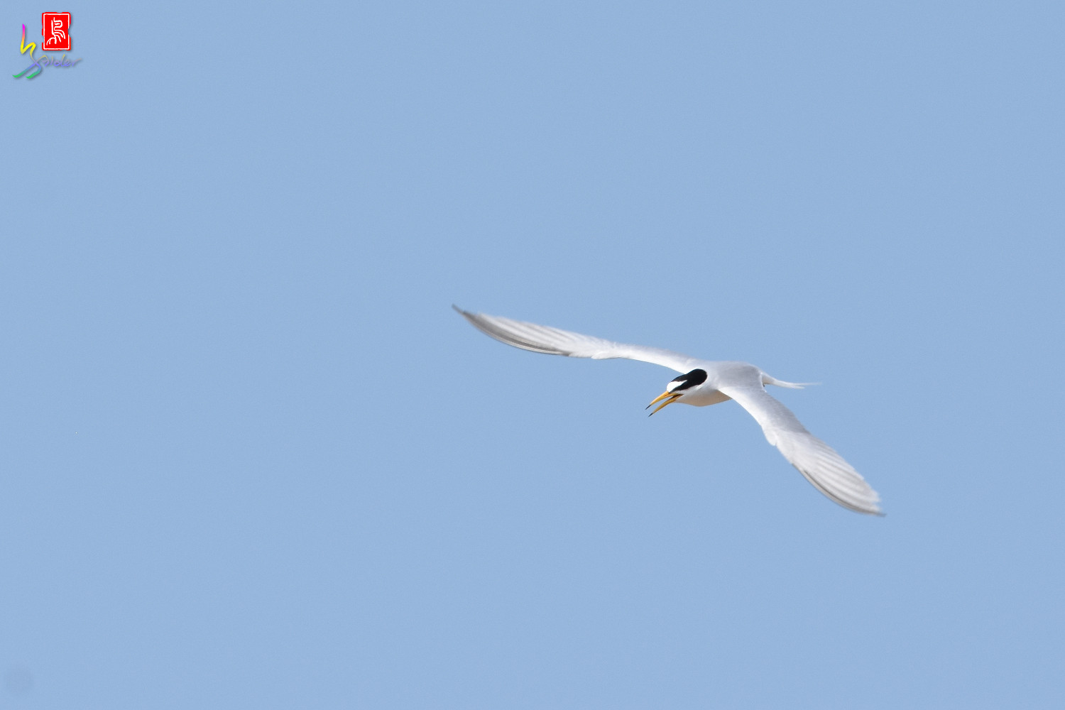 Little_Tern_9957