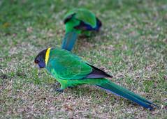 28 Parrots