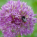 Bumblebee on allium flower, Northycote Farm