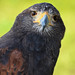Wise Owl Birds of Prey